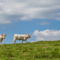 Vaches blanches au Rossberg||<img src=./_datas/w/s/0/ws0g15agsk/i/uploads/w/s/0/ws0g15agsk//2014/06/08/20140608133718-f9d7462d-th.jpg>