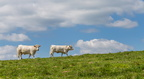 Vaches blanches au Rossberg