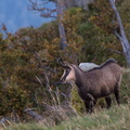 Chamois au Hohneck||<img src=./_datas/w/s/0/ws0g15agsk/i/uploads/w/s/0/ws0g15agsk//2014/10/17/20141017102859-d722e758-th.jpg>