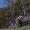 Chamois au Hohneck||<img src=./_datas/w/s/0/ws0g15agsk/i/uploads/w/s/0/ws0g15agsk//2014/10/17/20141017102952-b75d01d0-th.jpg>