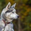 Mushing de La Bresse 10 octobre 2015||<img src=./_datas/w/s/0/ws0g15agsk/i/uploads/w/s/0/ws0g15agsk//2015/10/11/20151011114156-0dc5004b-th.jpg>