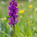 Orchis mâle||<img src=./_datas/w/s/0/ws0g15agsk/i/uploads/w/s/0/ws0g15agsk//2016/05/14/20160514183804-1bb11a47-th.jpg>