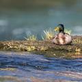 Le canard colvert||<img src=./_datas/w/s/0/ws0g15agsk/i/uploads/w/s/0/ws0g15agsk//2017/06/06/20170606221215-bc90d294-th.jpg>