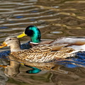 Couple de canards colverts||<img src=./_datas/w/s/0/ws0g15agsk/i/uploads/w/s/0/ws0g15agsk//2019/06/10/20190610160726-ba994620-th.jpg>
